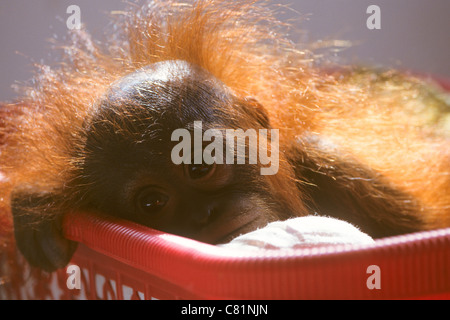 Back lit portrait of an orphaned baby orangutan at an orangutan rehabilitation centre, Pasir Panjang, Kalimantan, - Stock Photo