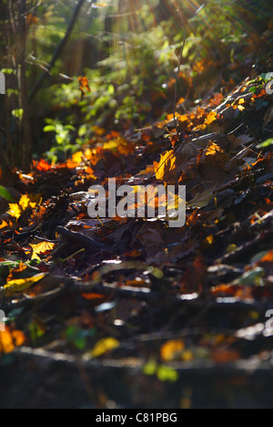 Autumn leaves with the sun streaming through the trees - Stock Photo