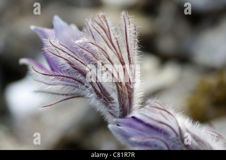 Close-up image of a Pulsatilla Halleri in spring time. - Stock Photo