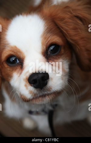 a picture of my cavalier king Charles spaniel brodie - Stock Photo
