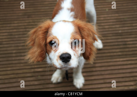 a picture of my cavalier king Charles spaniel brodie playing in the garden - Stock Photo