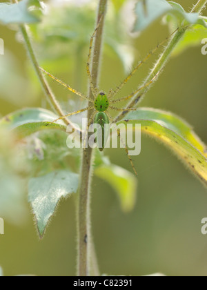 Green Lynx spider (Peucetia viridans) - Stock Photo
