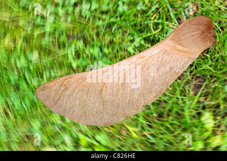 Maple Seed, Sycamore Seed appearing static against spinning background.  Flying sycamore seed.  Flying maple seed. Stock Photo