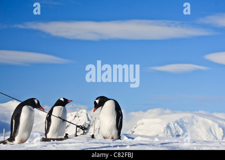 Three identical penguins resting on the top of the hill in Antarctica - Stock Photo