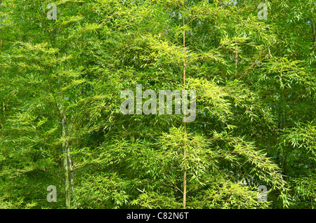 Background of a green japanese bamboo forest seen from the side - Stock Photo