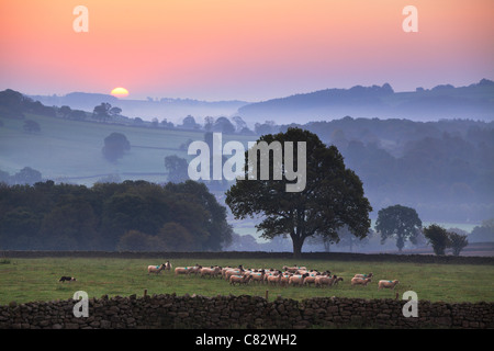 Yorkshire sheep gather ras the sun breaks over a mist shrouded Nidderdale Valley as seen from Dacre, Yorkshire, England