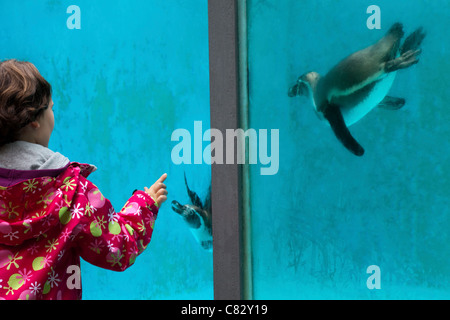 Child interacting with Humboldt's Penguins (Sphenicus humboldti) through acrylic front of a pool. Wuppertal Zoo, - Stock Photo