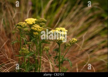 Achillea 'Moonshine', Yarrow, in flower - Stock Photo