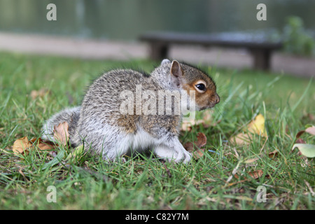 A baby squirrel in Roundhay Park, Leeds - Stock Photo