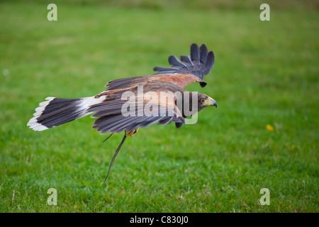 Harris Hawk in flight over s field - Stock Photo