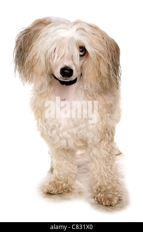 Chinese crested powder puff Single adult in a studio UK - Stock Photo