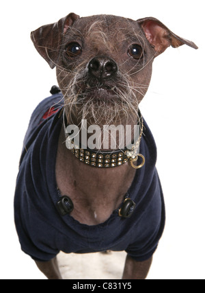 Chinese crested Single adult in a studio UK - Stock Photo