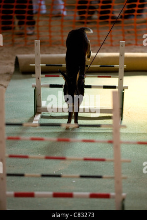 Rabbit Single adult jumping hurdles UK - Stock Photo