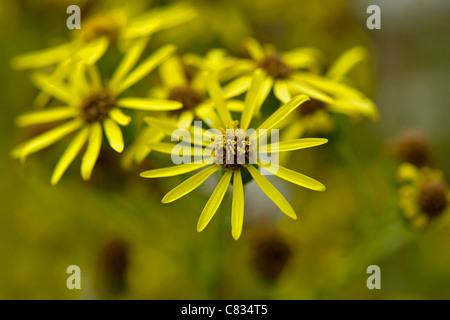 Close-up image of the summer flowering yellow Common Ragwort  - Senecio jacobaea, taken against a soft background - Stock Photo