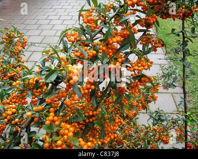 Firethorn (Pyracantha coccinea) full of orange berries, Alblasserdam, Holland - Stock Photo