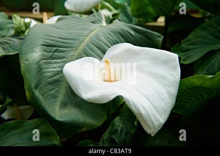 Arum or calla lilies, Zantedeschia aethiopica, Royal Greenhouses of Laeken, Royal Castle of Laeken, Brussels, Belgium, - Stock Photo