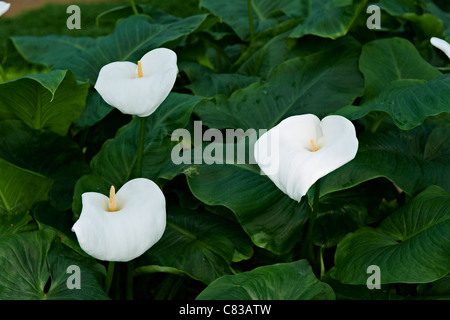 Arum or calla lilies, Zantedeschia aethiopica, Royal Greenhouses of Laeken, Royal Castle of Laeken, Brussels, Belgium, - Stock Photo