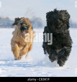 two Briard dogs - running in snow - Stock Photo