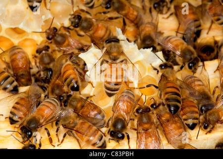 A colony of honey bees. - Stock Photo