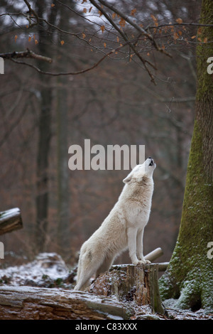 Arctic Wolf in forest - howling / Canis lupus arctos - Stock Photo