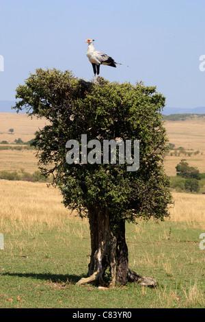 Secretary Bird on tree / Sagittarius serpentarius - Stock Photo