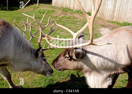 Reindeer Male and Female Closeup of Heads and Antlers - Stock Photo