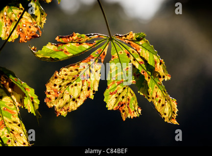 A horse chestnut leaf in autumn - Stock Photo