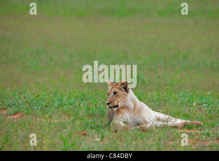 lion cub, Panthera leo, Kgalagadi Transfrontier Park, South Africa, Africa - Stock Photo
