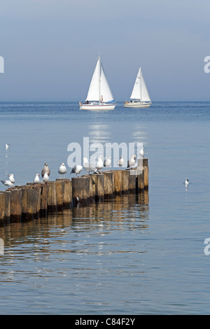 seagulls on a groin and sailing boats, Kuehlungsborn, Baltic Sea, Mecklenburg-West Pomerania, Germany