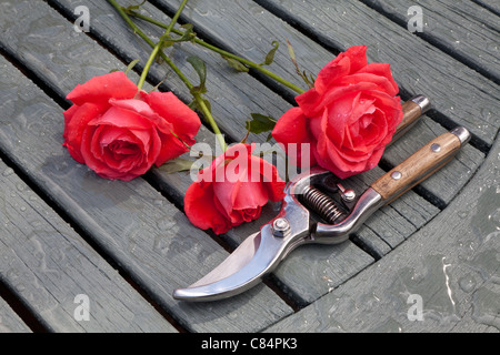 THREE RED ROSES AND SECATEURS ON WOODEN SLATTED TABLE IN GARDEN UK - Stock Photo