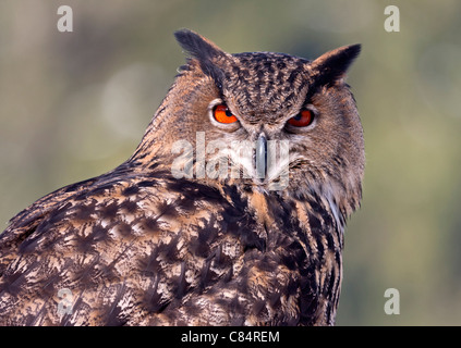 Eagle owl (Bubo bubo) - Stock Photo