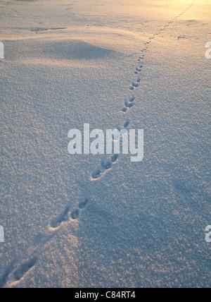 Animal tracks on snow - Stock Photo
