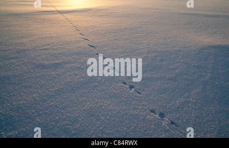 Animal tracks on snow , Finland - Stock Photo