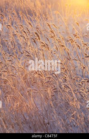 Frosty cane break at Winter - Stock Photo