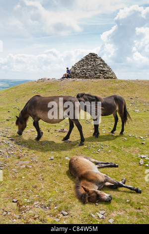 Exmoor ponies at Dunkery Beacon, Somerset, the highest point on Exmoor (1705 feet) - Stock Photo