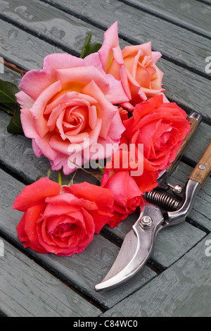 ROSES AND SECATEURS ON WOODEN SLATTED TABLE IN GARDEN UK - Stock Photo