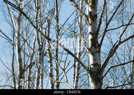 Grove of birch trees - Stock Photo