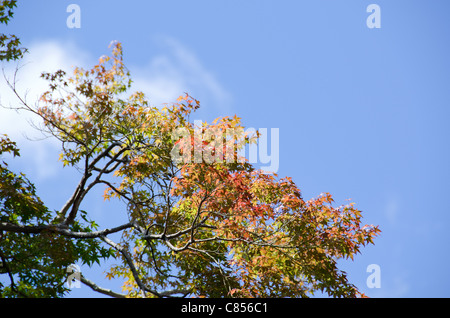 Branch of japanese maple in the beginning of autumn, fall - Stock Photo