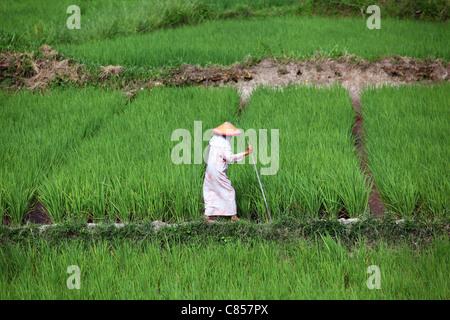 Old woman checking irrigation of rice paddies. Bukittinggi, West Sumatra, Sumatra, Indonesia, South-East Asia, Asia - Stock Photo