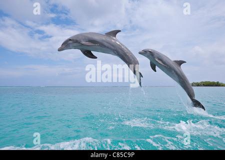 Common Bottlenose Dolphins Jumping in Sea, Roatan, Bay Islands, Honduras - Stock Photo
