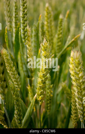 wheat close up green unripe stem stalk crop cereal farm grow food field many lots yield commodity summer ears seeds - Stock Photo