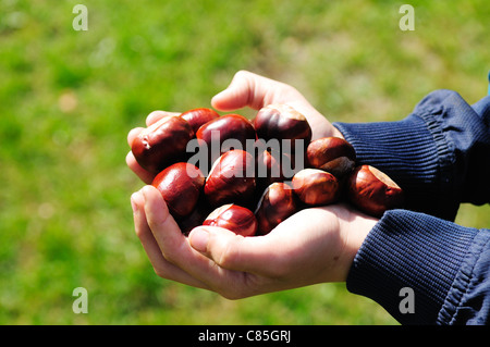 Child's Hands Holding Conkers/horse chestnuts .Aesculus Hippocastanum - Stock Photo