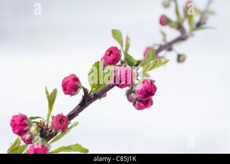 Cherry Blossoms, Hamburg, Germany - Stock Photo