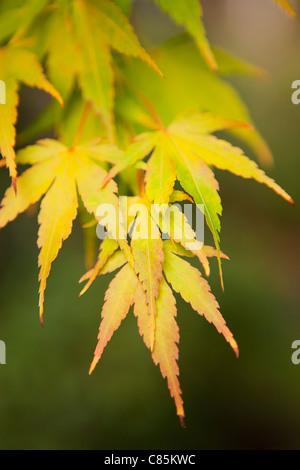 Close-up of Autumn Leaves, Seattle, Washington, USA - Stock Photo