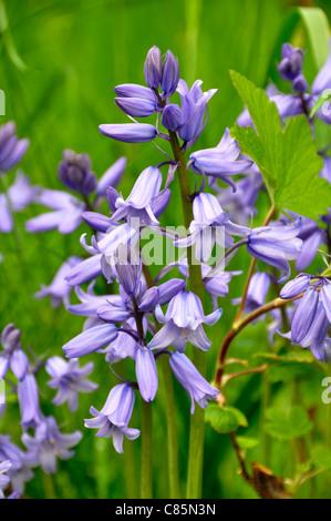 Spanish Bluebells Hyacinthoides hispanica in full bloom. - Stock Photo