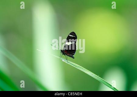 San Francisco - Academy of Science Sapha longwing Heliconius sapho - Stock Photo