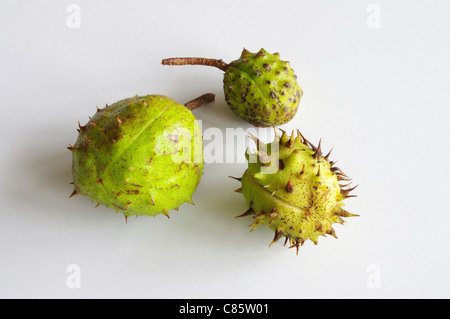 Three very different conker cases - Stock Photo