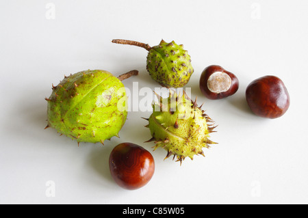 Three conkers and three prickly cases - Stock Photo