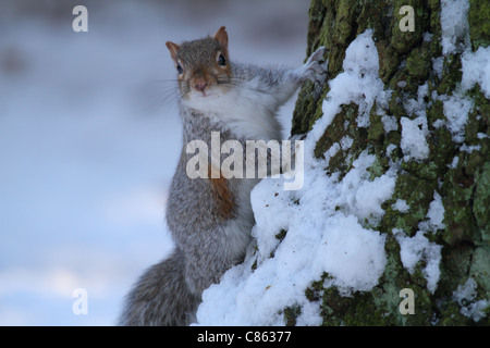 a gray squirrel in the UK winter snow