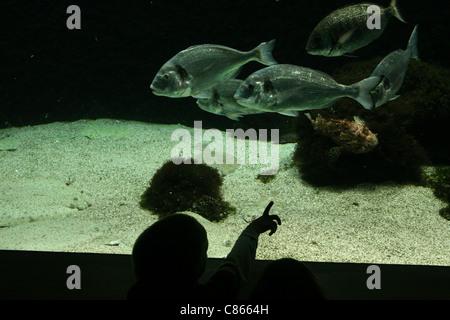 A boy examines an aquarium with school of salema porgy fishes (Sarpa salpa) at Zoo Basel, Switzerland. - Stock Photo